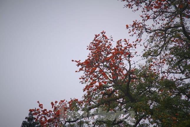 Hoa gạo nở đỏ rực góc phố Tràng Tiền ảnh 11