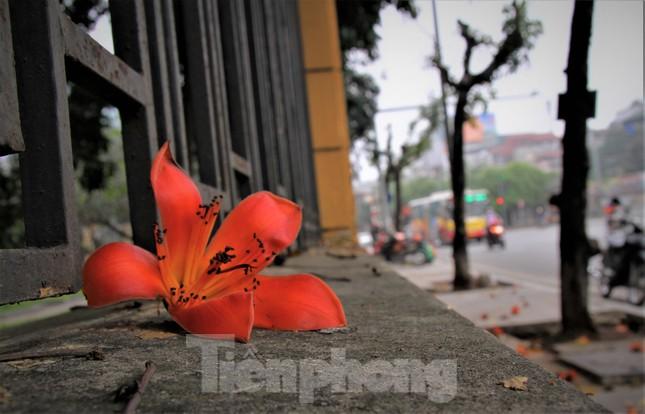 Hoa gạo nở đỏ rực góc phố Tràng Tiền ảnh 13