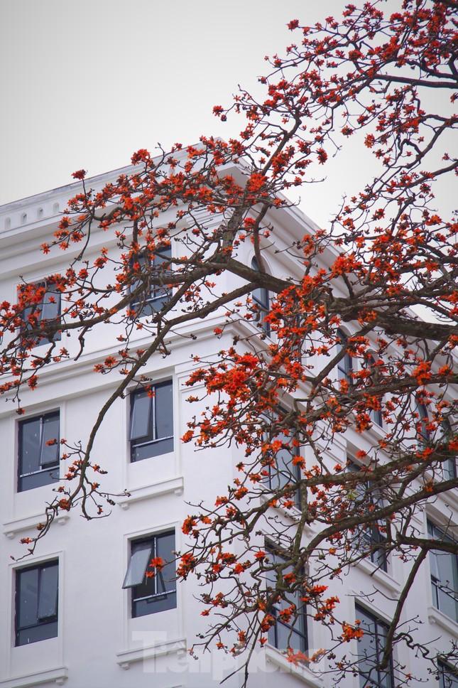 Hoa gạo nở đỏ rực góc phố Tràng Tiền ảnh 14