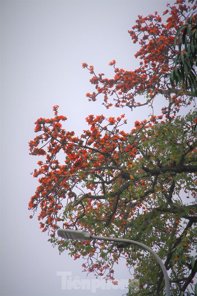 Hoa gạo nở đỏ rực góc phố Tràng Tiền ảnh 15
