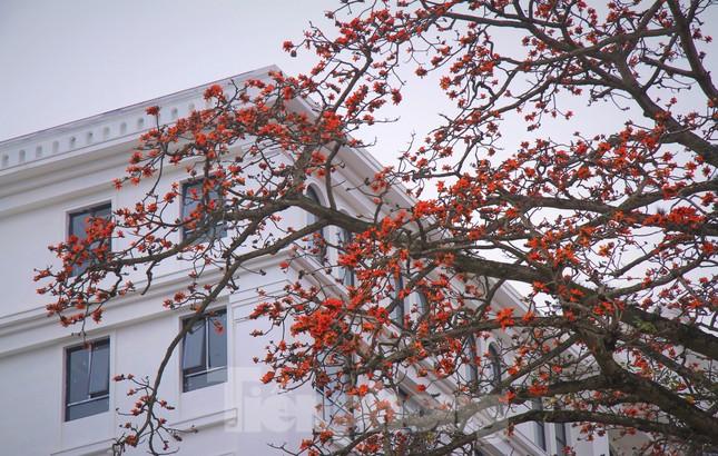 Hoa gạo nở đỏ rực góc phố Tràng Tiền ảnh 1