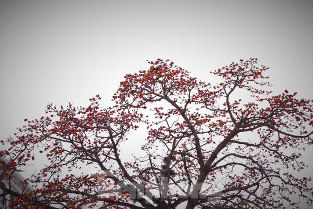 Hoa gạo nở đỏ rực góc phố Tràng Tiền ảnh 2