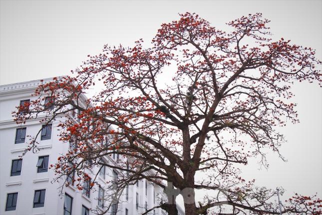Hoa gạo nở đỏ rực góc phố Tràng Tiền ảnh 3