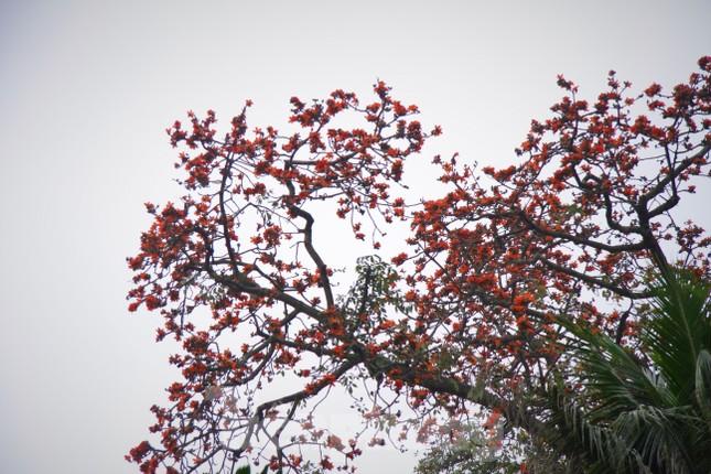 Hoa gạo nở đỏ rực góc phố Tràng Tiền ảnh 5