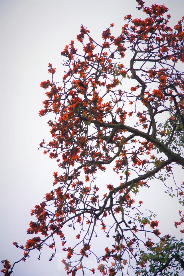 Hoa gạo nở đỏ rực góc phố Tràng Tiền ảnh 6