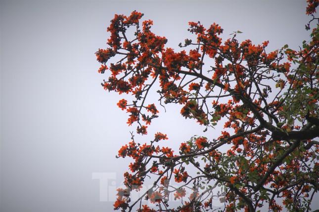 Hoa gạo nở đỏ rực góc phố Tràng Tiền ảnh 7