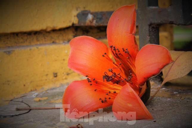 Hoa gạo nở đỏ rực góc phố Tràng Tiền ảnh 8
