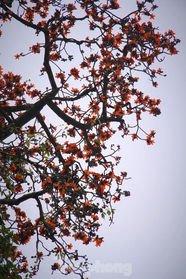 Hoa gạo nở đỏ rực góc phố Tràng Tiền ảnh 9