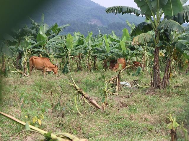 Dự án nuôi bò Bình Hà liên quan cha con ông Trần Bắc Hà còn lại gì? ảnh 3