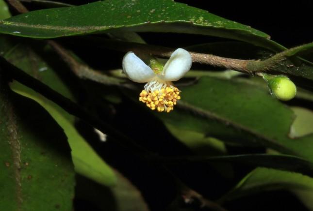 Phát hiện loài trà my nhỏ nhất thế giới tại Lâm Đồng ảnh 2