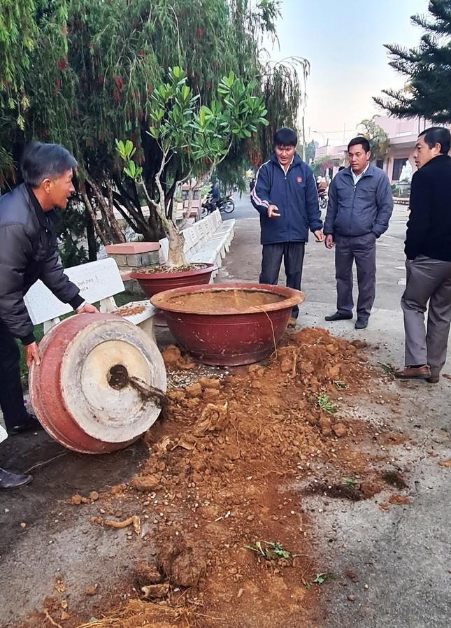 Đà Lạt: Truy tìm băng nhóm dùng ô tô trộm hoa giấy cổ thụ ảnh 5