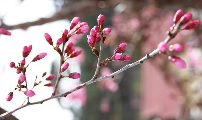Lâm Đồng chờ hoa anh đào nở mới ấn định ngày khai hội ảnh 1