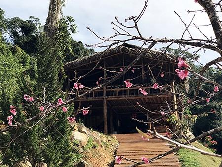 Lâm Đồng chờ hoa anh đào nở mới ấn định ngày khai hội ảnh 3