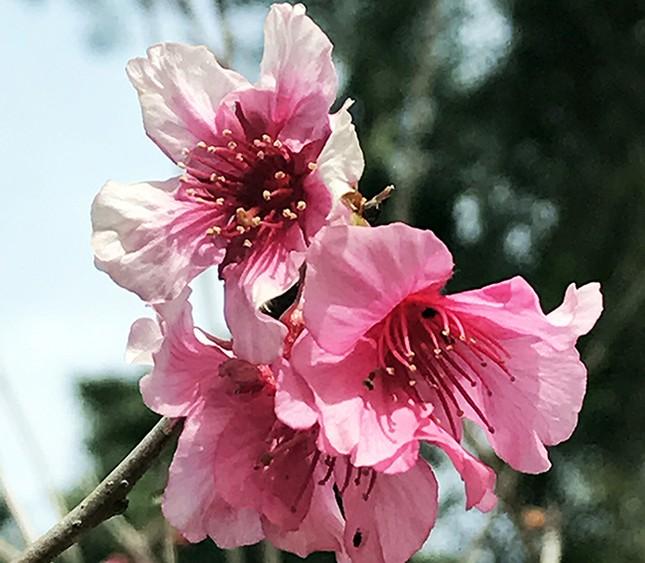 Chính thức công bố thời gian lễ hội hoa anh đào Đà Lạt ảnh 4