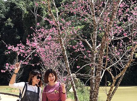 Chính thức công bố thời gian lễ hội hoa anh đào Đà Lạt ảnh 5