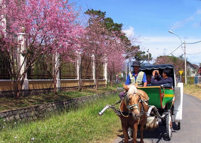 Ngây ngất ngắm hoa anh đào nhuộm hồng phố núi Đà Lạt ảnh 7