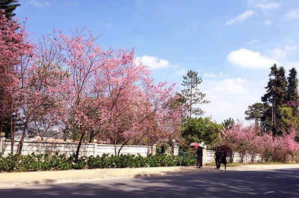 Ngây ngất ngắm hoa anh đào nhuộm hồng phố núi Đà Lạt ảnh 4