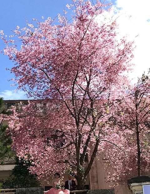 Ngây ngất ngắm hoa anh đào nhuộm hồng phố núi Đà Lạt ảnh 3