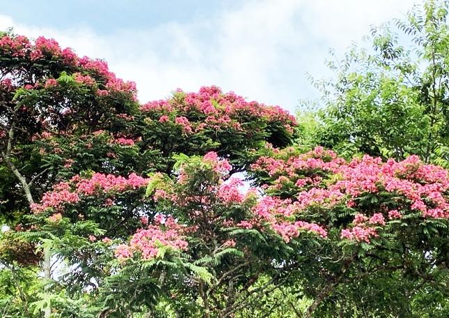 Nơi duy nhất ở Việt Nam chào hè với 5 sắc hoa phượng ảnh 3