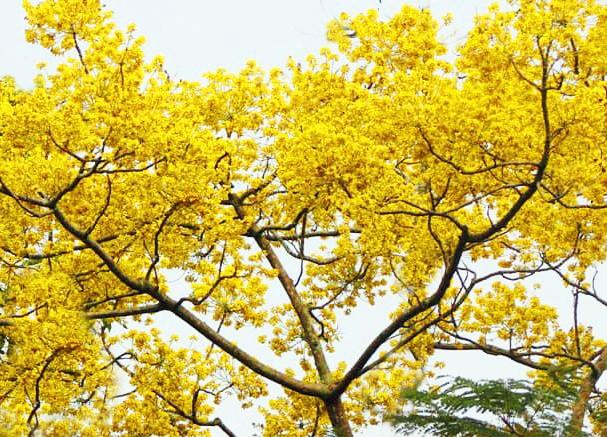 Nơi duy nhất ở Việt Nam chào hè với 5 sắc hoa phượng ảnh 1