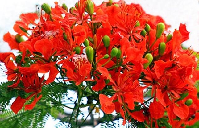 Nơi duy nhất ở Việt Nam chào hè với 5 sắc hoa phượng ảnh 2