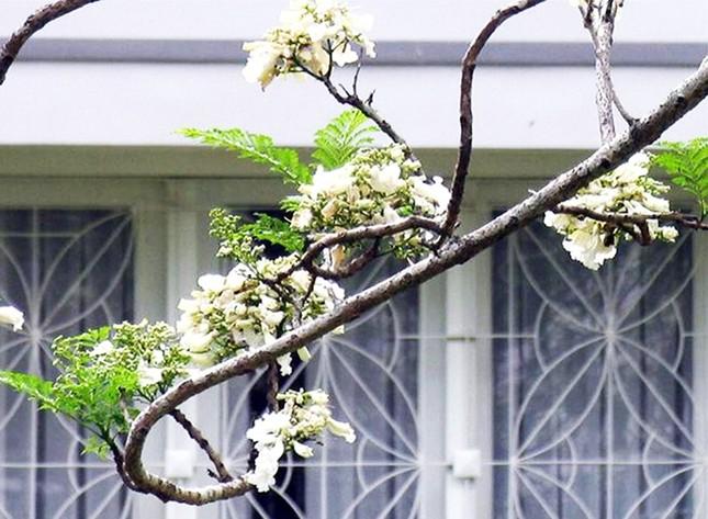 Nơi duy nhất ở Việt Nam chào hè với 5 sắc hoa phượng ảnh 4