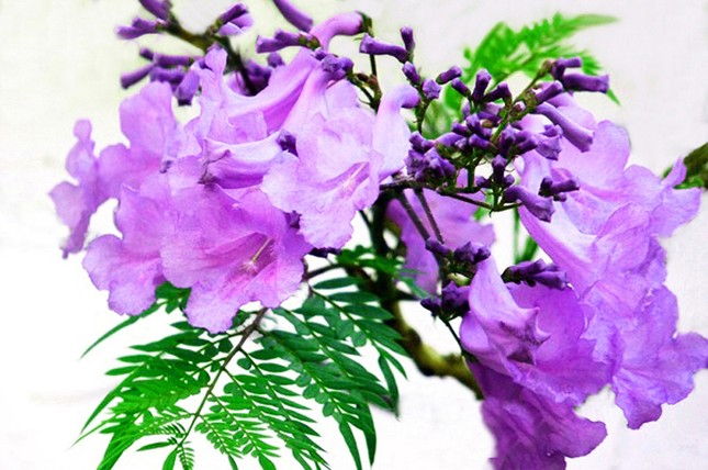 Nơi duy nhất ở Việt Nam chào hè với 5 sắc hoa phượng ảnh 5