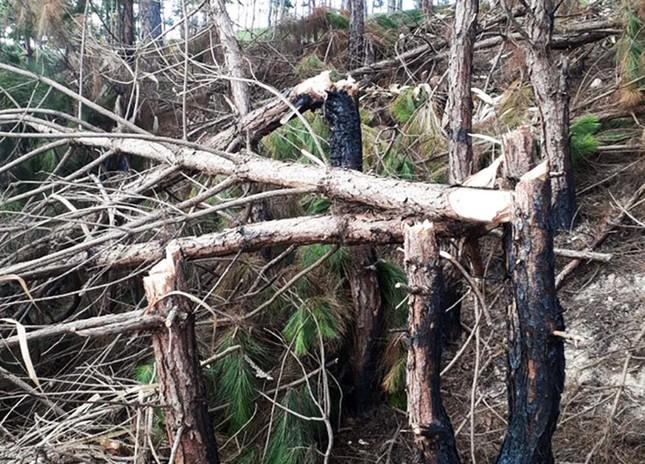 Bắt 2 đối tượng cưa hạ hàng chục cây thông ở Đà Lạt ảnh 2