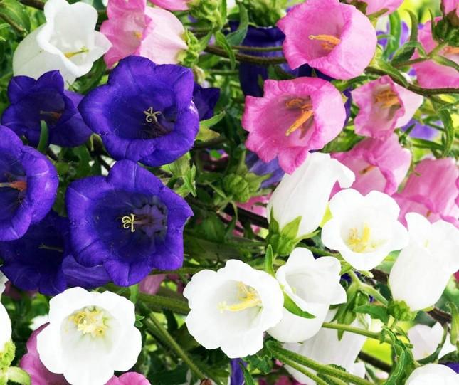 Nhiều loài hoa mới Đà Lạt được tung ra thị trường Tết ảnh 2