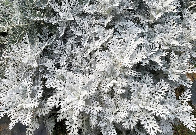 Nhiều loài hoa mới Đà Lạt được tung ra thị trường Tết ảnh 3
