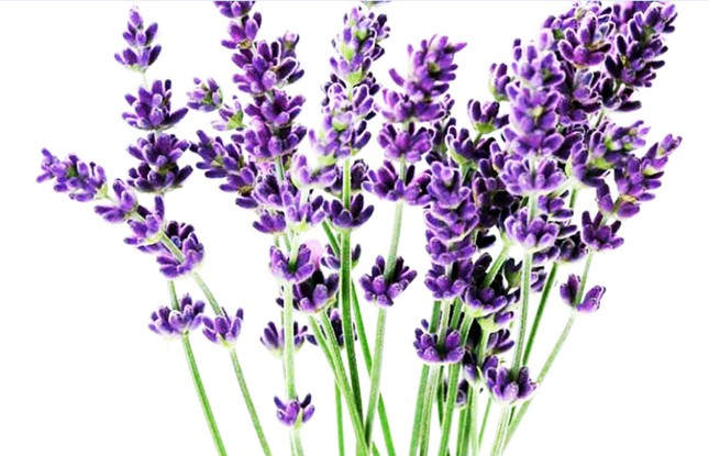 Nhiều loài hoa mới Đà Lạt được tung ra thị trường Tết ảnh 4