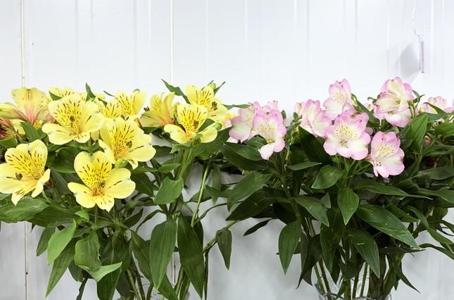 Nhiều loài hoa mới Đà Lạt được tung ra thị trường Tết ảnh 5