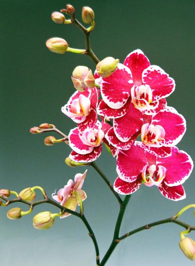 Nữ hoàng hoa lan Đà lạt khoe sắc khắp mọi miền, 'cháy hàng' dịp Tết ảnh 4