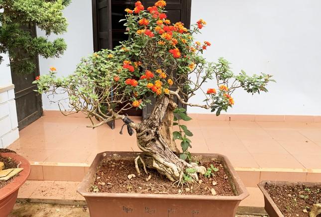 Nhiều loài hoa dại thành bon sai trăm triệu ở Đà Lạt ảnh 3