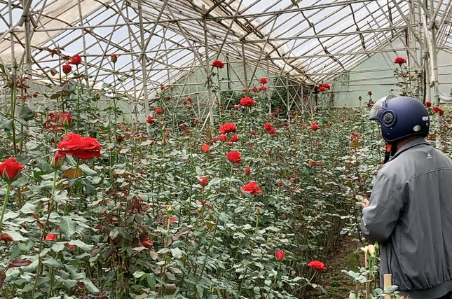 Hoa hồng đẹp nức tiếng Đà Lạt bị đốt, đổ bỏ khắp nơi ảnh 3
