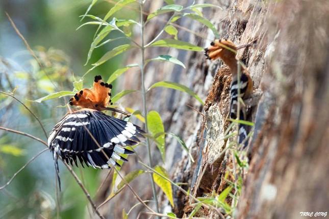 Bắn cặp chim đầu rìu tuyệt đẹp, cư dân mạng lên án báo công an ảnh 3