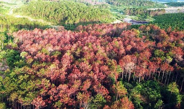 Đầu độc chết trắng 10 ha rừng thông, 7 bị cáo lãnh án ảnh 2