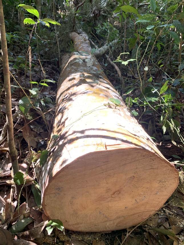 Rừng nguyên sinh bị tàn phá, gỗ lậu lọt vào nhà... Tổ trưởng bảo vệ rừng ảnh 1