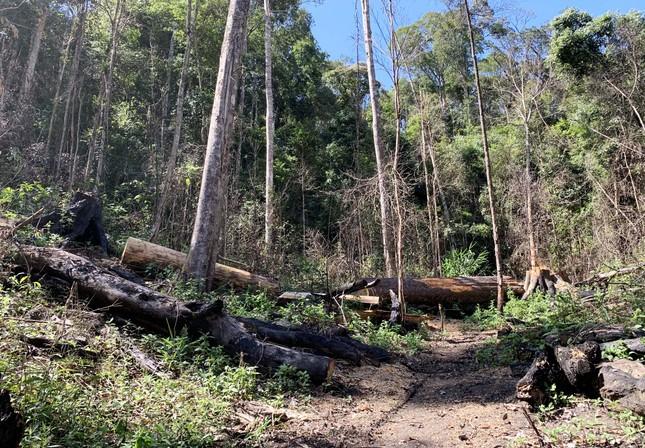 Rừng nguyên sinh bị tàn phá, gỗ lậu lọt vào nhà... Tổ trưởng bảo vệ rừng ảnh 7