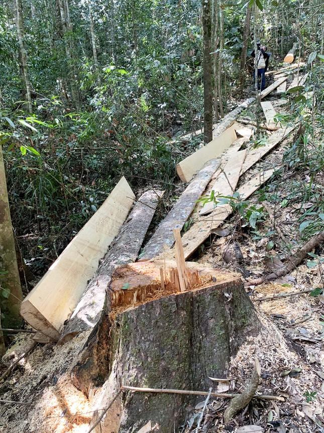 Rừng nguyên sinh bị tàn phá, gỗ lậu lọt vào nhà... Tổ trưởng bảo vệ rừng ảnh 4