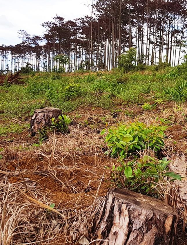 Lâm Đồng: Kỷ luật 125 trường hợp, quy trách nhiệm lãnh đạo để mất rừng ảnh 2