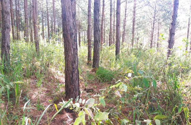 Lâm Đồng: 108 cây thông hàng chục năm tuổi bị đẽo vỏ ảnh 1