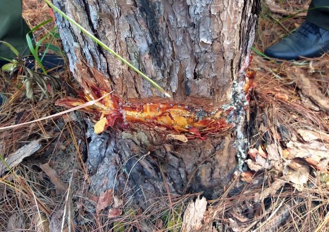 Lâm Đồng: 108 cây thông hàng chục năm tuổi bị đẽo vỏ ảnh 2