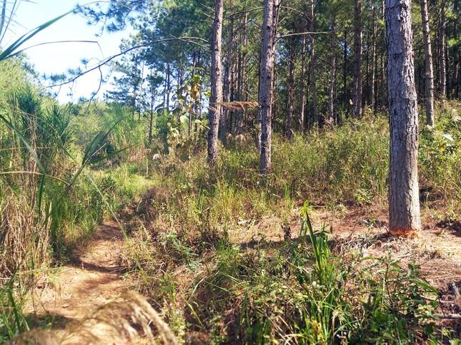 Lâm Đồng: 108 cây thông hàng chục năm tuổi bị đẽo vỏ ảnh 3