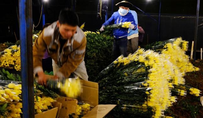 Đà Lạt: Trắng đêm thu hoạch hoa Tết chở về xuôi, công cắt hoa tăng gấp 3 lần ảnh 2