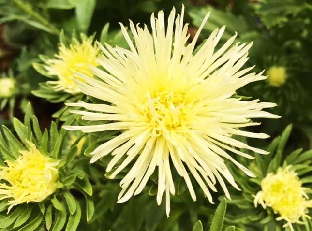 Đà Lạt: Trắng đêm thu hoạch hoa Tết chở về xuôi, công cắt hoa tăng gấp 3 lần ảnh 3