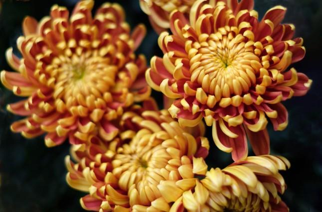 Đà Lạt: Trắng đêm thu hoạch hoa Tết chở về xuôi, công cắt hoa tăng gấp 3 lần ảnh 4