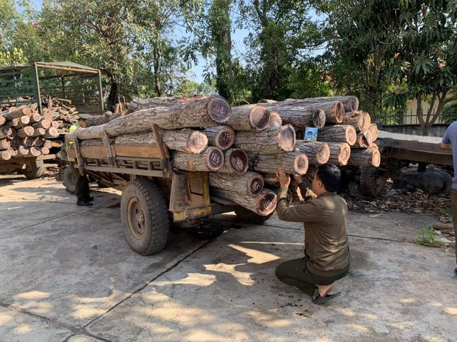 Lâm tặc vừa chặt cây, chủ rừng nói gỗ đã mục nát ảnh 1