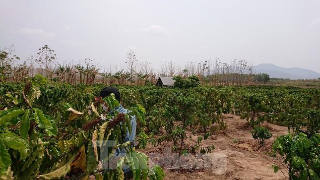 Hơn 22 nghìn ha rừng ở Đắk Lắk bị xóa sổ ra sao? ảnh 1