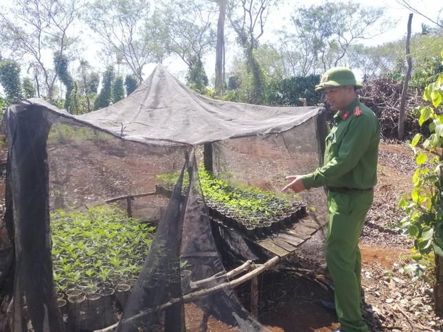 Phát hiện 'nông trại' trồng hơn 1.500 cây cần sa của hai anh em ruột ở Đắk Lắk ảnh 2